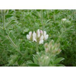 Dorycnium hirsutum frejorgue