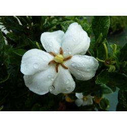 Gardenia angustifolia Klein's Hardy