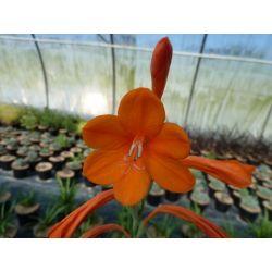 Watsonia hybride
