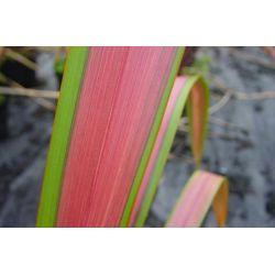 Phormium Jester, Emerald Pink