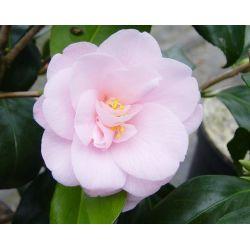 Camellia japonica Fleur de Pêcher