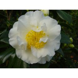 Camellia japonica Silver Waves