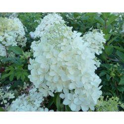 Hortensia p Phantom -Hydrangea paniculata Phantom