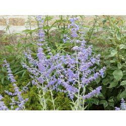 Perovskia atripicifolia Blue Spire