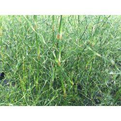 Rhodocoma capensis - Restio plante roseau