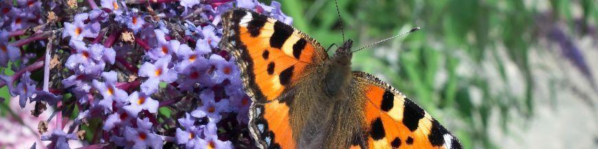Pour les papillons