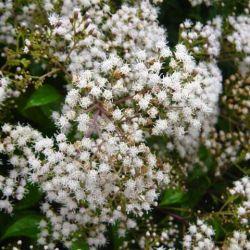 Eupatorium micranthum - Eupatoire