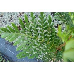 Lomatia ferruginea - Lomatie ferrugineuse