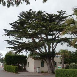 Cupressus macrocarpa - Cyprès Lambert - de Monterey