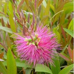 Callistemon Perth Pink - Rince-bouteille