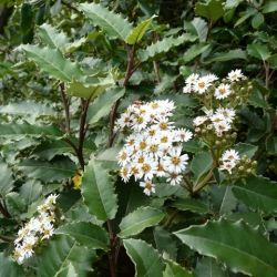 Olearia macrodontha Major