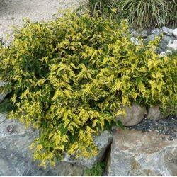 Abutilon megapotanicum Variegata