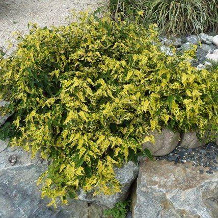 Vente Abutilon Megapotanicum Variegata