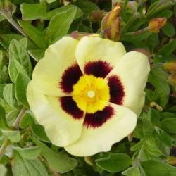 Halimiocistus wintonensis Merrist wood cream