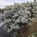 Myrte apiculata - Luma apiculata