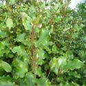 Camellia Docteur Tinslay (japonica)