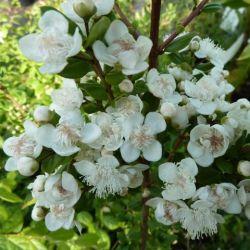 Myrte apiculata - Myrte d'argentine - Myrtus apiculata - Luma apiculata