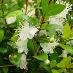 Myrthe apiculata