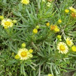 Inule perce-pierre Inula chrtihmoides