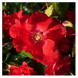 Rosier sommerabend - Rosa Sommerabend