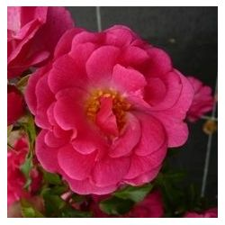 Rosier Pink Emely ® - Rosa Rekord® Pink Emeyly® 'korselary'