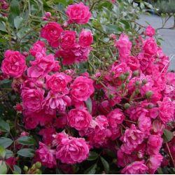 Rosier Fairy Rood - Rosa Fairy Rood