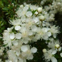 Tepualia stipularis - Myrtus stipularis