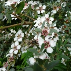 Leptospernum l Silver Sheen. Arbre à thé - Myrthe Australienne