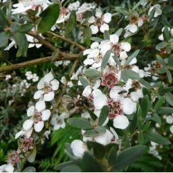 Leptospermum l Silver Sheen. Arbre à thé - Myrthe Australienne