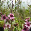 Camellia Dalhonega (japonica)