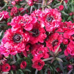 Leptospermum scoparium Crimson Glory - Arbre à thé - Myrthe Australienne