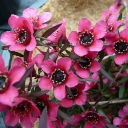 Leptospermum scoparium Red Falls - Arbre à thé - Myrthe Australienne