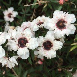 Leptospermum scoparium white Candy Blanc - Arbre à thé - Myrthe Australienne