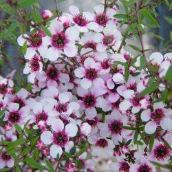 Leptospermum scoparium Martini - Arbre à thé - Myrthe Australienne