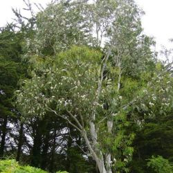 Eucalyptus niphophylla - Gommier neige