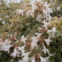 Abelia grandiflora Stereden