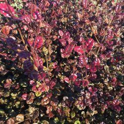 Lophomyrtus ralphii Purpurea - Myrte ralphii Purpurea