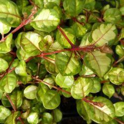 Lophomyrtus ralphii Tricolor - Myrte ralphii Tricolor