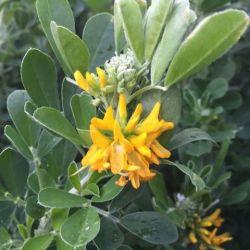 Luzerne arbustive - Medicago arborea