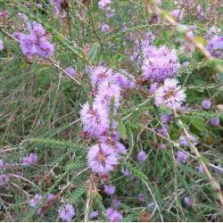 Melaleuca gibosa