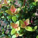 Leptospermum scoparium Coral Candy Blanc - Arbre à thé - Myrthe Australienne
