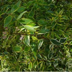 Abelia grandiflora Hopleys