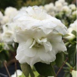 Azalée du japon White Rosebud - Azalea japonaise White Rosebud