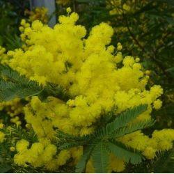 Mimosa d'hiver Gaulois - Acacia dealbata