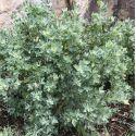Quercus ilex - Chêne vert