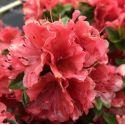 Hortensia Sanguinea - Hydrangea macrophylla Sanguinea
