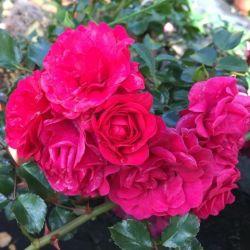 Rosier Toscana ® - Rosa Toscana® Sans contrainte® korstesgli