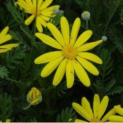 Marguerite d'automne - Euryops pectinatus