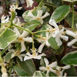 Jasmin étoilé panaché - Trachelospermum jasminoides Variegata
