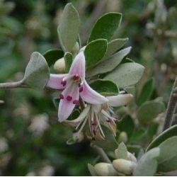 Correa alba Rosea - Fuschsia Australien